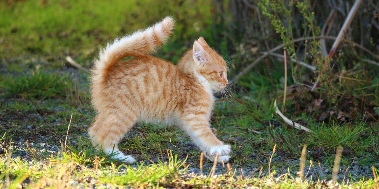 Harnais pour chat avis – Faut-il en acheter un à votre chat ?