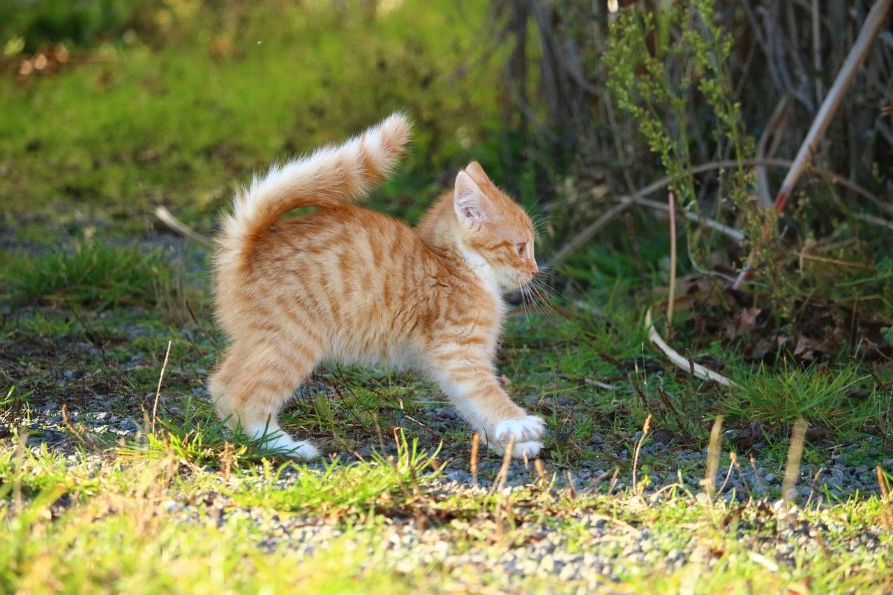 Harnais pour chat avis - Faut-il en acheter un à votre chat ?